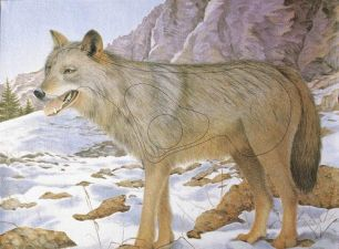 Мишень JVD - волк